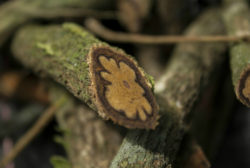 ayahuasca-plante-maitresse-d-amazonie-solunmty