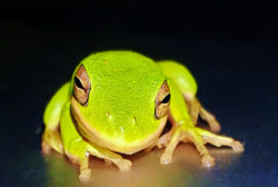 Le Kambo, vaccin de la grenouille, puissant purificateur